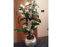 Dendrobran Nobile White Orchid House Plant