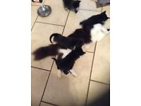Black & white kittens for sale