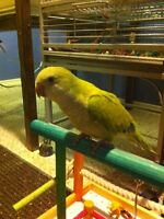 Looking for a young Quaker parakeet