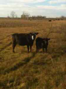 80 TOP END BRED COWS FOR SALE