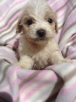 ADORABLE TOY MALTI - POO PUPPIES