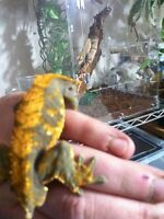 Male Halloween crested gecko