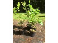 Laurel Hedging Evergreen Shrub Plant Easy To Grow White Flowers Fast Growing 30cm/40cm Tall