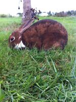 3 breeding/showing or pet rabbits for sale