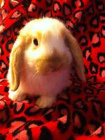 Bébés lapins Belier Nain
