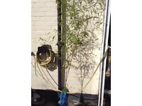 Large bamboo plants for sale
