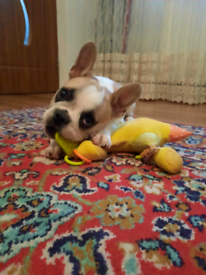 2 georgeous female french bulldog for sale