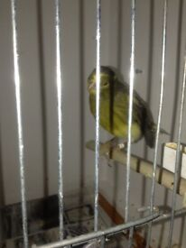 Canary hen for sale