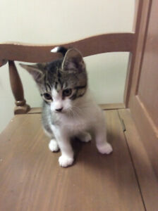 Socrates, kitten for adoption-neutered, vaccinated, microchipped