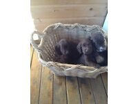 For sale cocker spaniel puppies