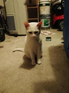 FOUND WHITE CAT DO YOU RECOGNIZE ME ?