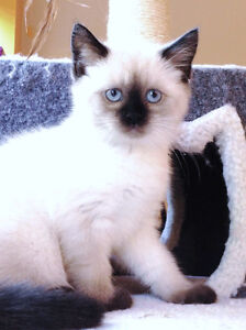 Siamese/Ragdoll male kitten is looking for his new home