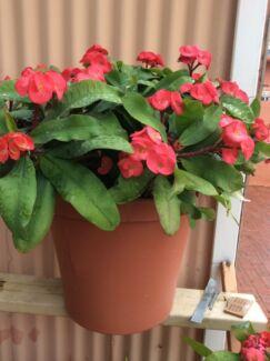 Red Euphorbia Plant  Fremantle Fremantle Area Preview
