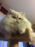 CFA REGISTERED WHITE MALE PERSIAN - NEUTERED