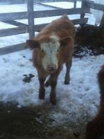 Heifer and Bull For Sale