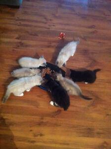 Manx kittens (only 6 left)