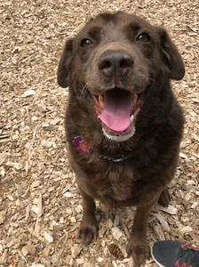 Chocolate Lab X searching for HOME!