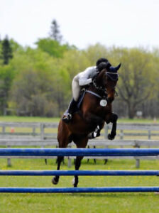 2008 Dutch Warmblood/TB Gelding for Sale