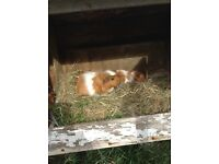 For sale baby Guinea pigs