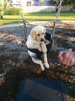 Yellow Lab for sale