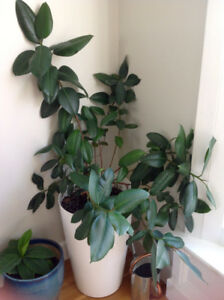 Rubber plant for sale $10.00
