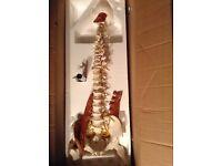 Manual handling skeleton