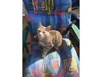 Silver tabby cats