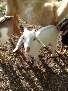 Very Friendly Buckling for sale!