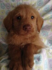 Amazing F1  Golden Lab a Doodle Puppies !!
