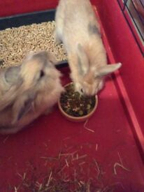 2 x 5month old rabbits