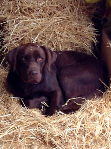 5year old pure bred male Chocolate lab