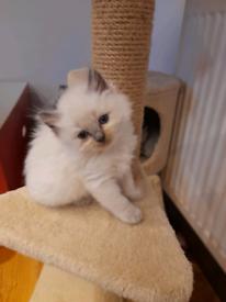 Ragdolls kittens Bristol