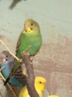 FANCY BABY BUDGIES  ALL COLORS