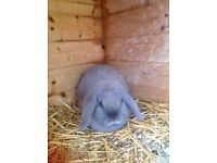 Mini lop does for sale
