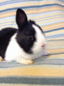 Handraised female  baby bunny