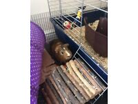 Two male guinea pigs with cage