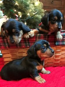 Dorkie Puppies for Sale (Mini Dachshund x Yorkie)