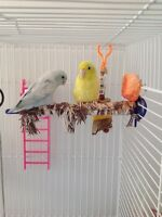breeder pair of parrotlets BLUE MARBLE AND YELLOW
