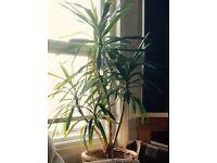 Big Yucca Plant