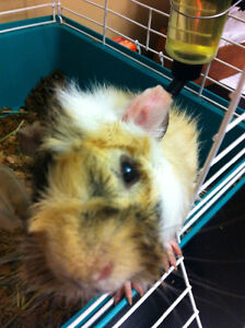Guinea pig and cage