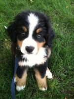 Looking for: Bernese Mountain Dog puppy