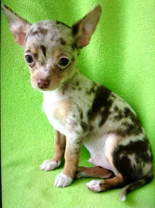***Cute & Colourful Chihuahua Puppies & Young Chorkie Female***