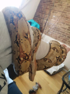 Red Tail Boa and Cage