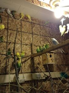 Baby Budgies (Green Only) For Sale