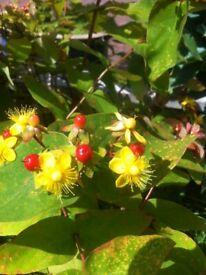 Hypericum androsaemum lovely plant with stunning flower and berry