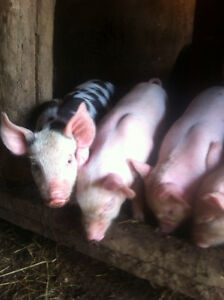 Berkshire tamworth Yorkshire piglets