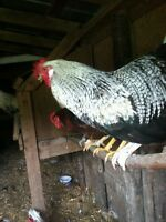 Chickens (roosters)