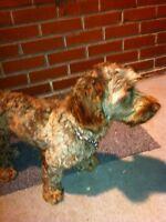 petit chien frisé trouvé dans Rosemont le 18 novembre