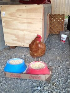 Live Chickens and Rooster