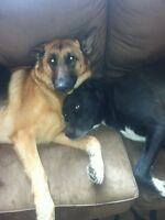 Two large dogs looking for new home